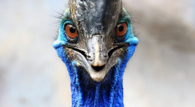 what is a cassowary